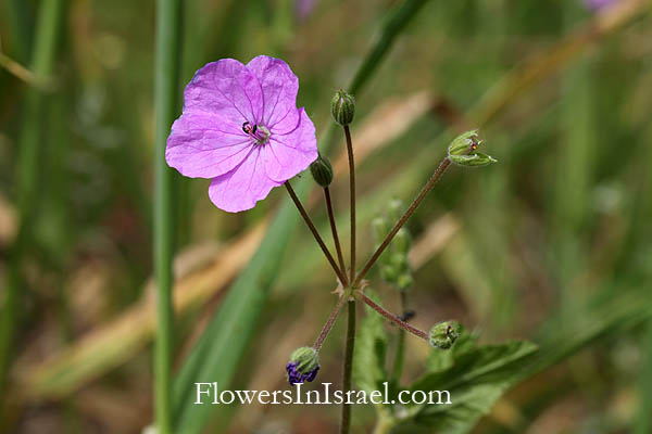 Flowers of Israel online, Native plants, Palestine
