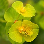 Euphorbia falcata, Israel, Yellow colored flowers