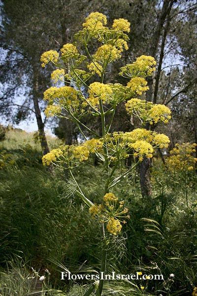 Ferula communis, Common Giant Fennel, כלך מצוי,Umbelliferae, Apiaceae, סוככיים