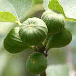 Ficus carica, Israel, green wildflowers