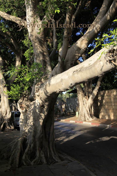 Ficus microcarpa, Ficus nitida, Ficus retusa, Chinese or Malayan banyan, Indian Laurel or Curtain fig, Laurel rubber, פיקוס השדרות
