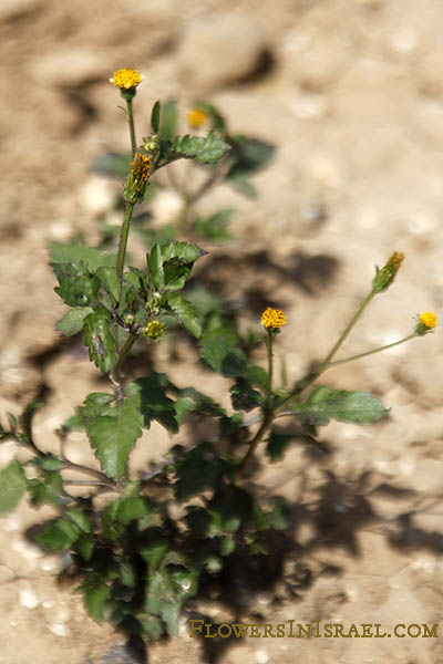 Galinsoga parviflora, Potato weed, Gallant-soldiers, Small flowered galinsoga, גלינסוגה קטנת-פרחים