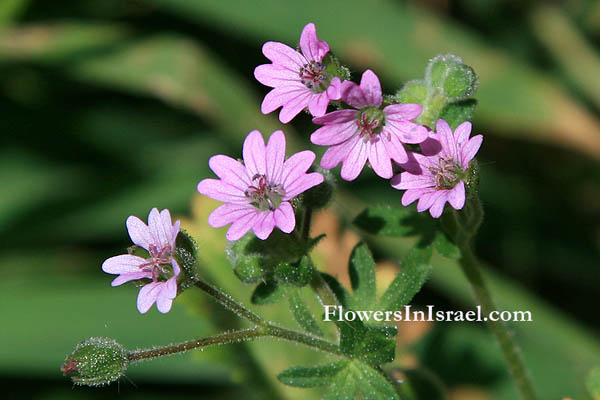 Geranium molle, Soft crane's-bill, Dove's-Foot Crane's-Bill, 柔毛牻牛儿苗,גרניון רך,أبرة الراعي