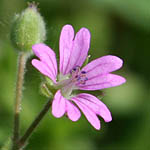 Geranium molle, Wildflowers, Israel, send flowers