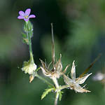 Geranium robertianum, Wildflowers, Israel, send flowers