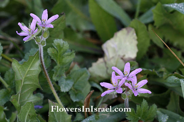 Geranium rotundifolium, Round-leaved geranium,Round-leaved crane's bill, גרניון עגול, غرنوقي دائري الأوراق