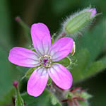 Geranium rotundifolium, Wildflowers, Israel, send flowers