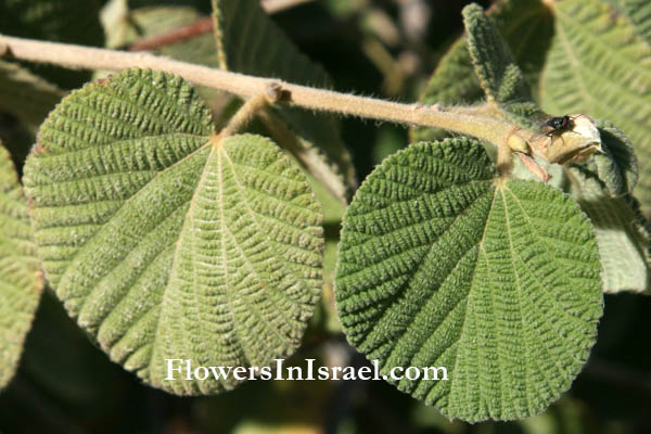 Grewia villosa, Mallow raisin, Mallow-leaved ross berry, Round leaf grewia, نشم وبري, גרויה שעירה