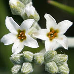 Heliotropium bovei, Wildflowers, Israel, send flowers