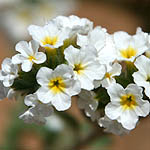 Heliotropium suaveolens, Wildflowers, Israel, send flowers