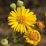 Heterotheca subaxillaris, Israel, Yellow colored flowers