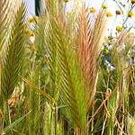 Hordeum glaucum, Wildflowers, Israel, send flowers