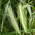 Hordeum vulgare, Wildflowers, Israel, send flowers