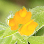 Hymenocarpos circinnatus, Hymenocarpus circinnatus, Disk Trefoil, כליינית מצויה, Wildflowers, Israel, send flowers