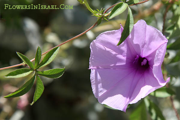 Ipomoea cairica, Ipomoea palmata, Cairo- or coast morning glory, Palmate Morning Glory, לפופית כפנית