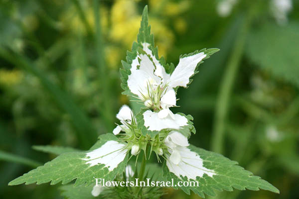 Lamium moschatum, Musk deadnettle, قريصة الدجاجة, נזמית לבנה