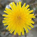Launaea angustifolia, Israel Wildflowers, Send flowers online