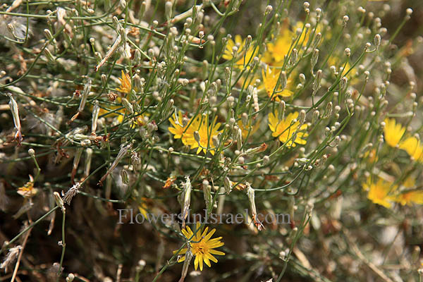 Flowers of the Holy Land (Israel wild flowers)