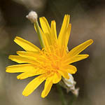 Launaea nudicaulis, Israel Wildflowers, Send flowers online