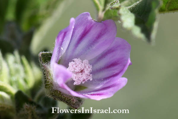 Flowers  and wild plants of israel