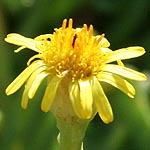 Limbarda crithmoides, Israel Wildflowers, Send flowers online