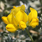 Lotus creticus, Israel Wildflowers, Send flowers online