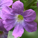 Lythrum junceum, Israel Wildflowers, Send flowers online