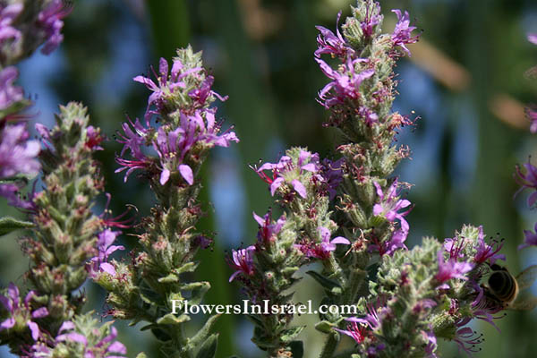 Lythrum salicaria, Purple Loosestrife, Purple lythrum, Rainbow weed, Spiked loosestrife, שנית גדולה