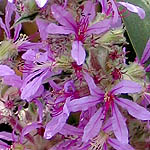 Lythrum salicaria, Israel Wildflowers, Send flowers online