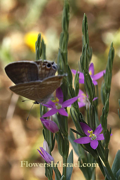 Lythrum tribracteatum, Lythrum bibracteatum, Three-bracted Loosestrife, שנית שוות-שיניים