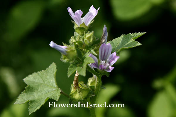 Malva nicaeensis, French Mallow, Southern Mallow, Bull Mallow, חלמית מצויה
