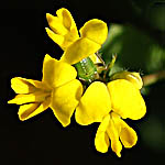 Medicago littoralis, Israel, Flowers, Native Plants