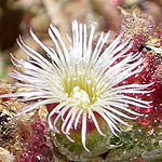 Mesembryanthemum crystallinum, Israel, Flowers, Native Plants