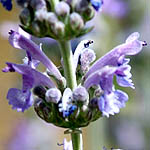 Nepeta curviflora, Israel, Flowers, Native Plants