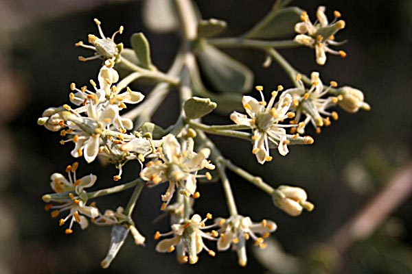 Nitraria retusa, Nitraria tridentata, Salt tree, ימלוח פגום ,دقرغ/قدرغ