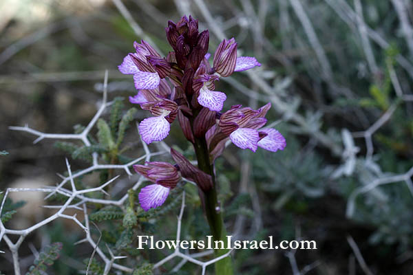 Information and Pictures of Israel Wildflowers