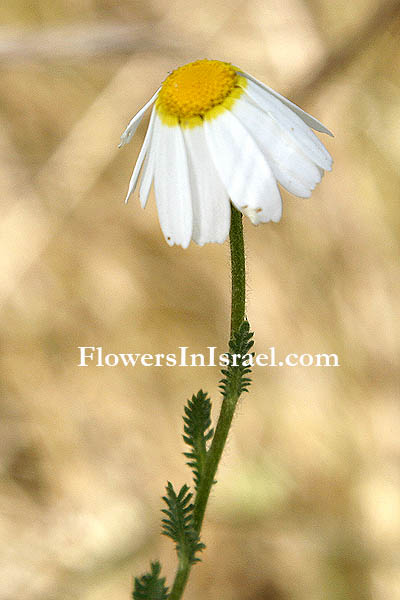 Ormenis mixta, Chamaemelum mixtum, Anthemis mixta, Cladanthus mixtus, Weedy dogfennel, Simple-leaved chamomile, קחוונית מצויה