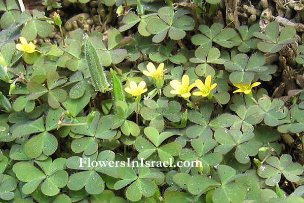 Oxalis corniculata, Yellow woodsorrel, חמציץ קטן , فصيلة ابرة الراعي