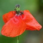Papaver humile, Flowers in Israel, wildflowers