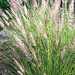 Pennisetum orientale, Flowers in Israel, wildflowers