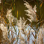 Phragmites australis, Flowers in Israel, wildflowers