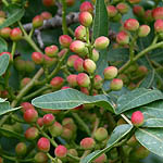 Pistacia palaestina, Flowers in Israel, wildflowers