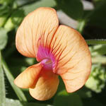 Pisum fulvum, Flowers in Israel, wildflowers