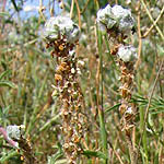 Plantago albicans, Flowers in Israel, wildflowers