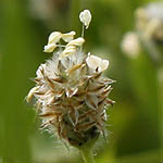 Plantago ovata, Flowers in Israel, wildflowers