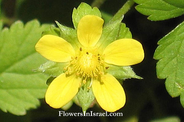 Potentilla indica, Duchesnea indica, Fragaria indica, Mock Strawberry, Indian strawberry, תותית הודית