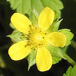 Potentilla reptans, Flowers in Israel, wildflowers
