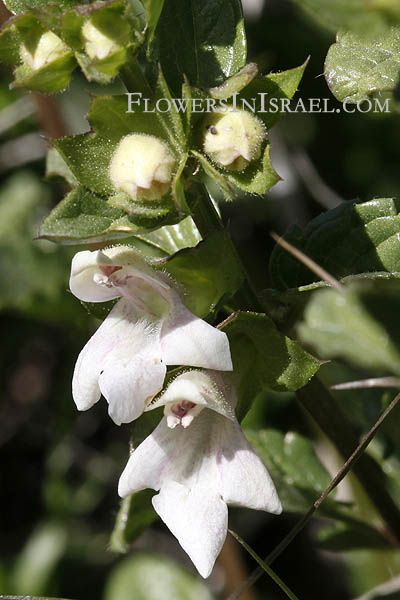 Prasium majus, White Hedge-nettle, Great Hedge-nettle, פרסיון גדול
