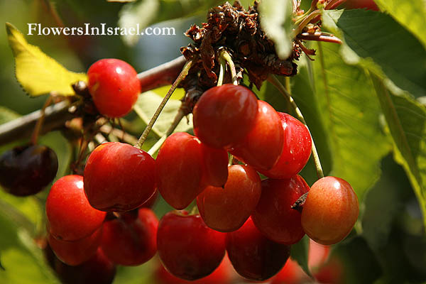 Prunus cerasus, Sour Cherry,حبّ الملوك, Habb al-muluk,דובדבן