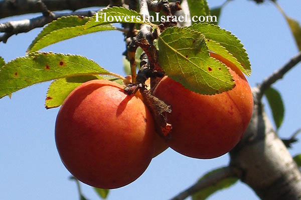 Prunus ursina, Bear's Plum, שזיף הדב, Israel, Native plants, Botany, Palestine